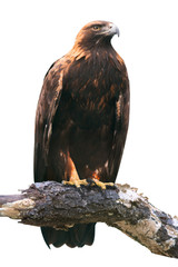 Golden Eagle on White