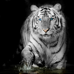 Fototapete - Black & White Tiger