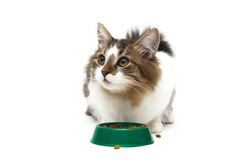 beautiful fluffy kitten sits beside a bowl of food on a white ba