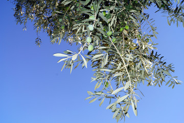 A branch of an olive tree against the blue sky.