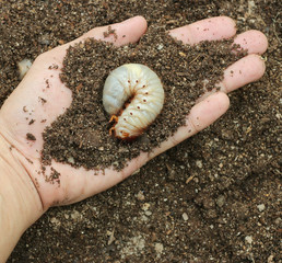 Image of grub worms in the human hand.