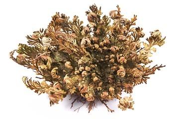 Rose of Jericho (Selaginella lepidophylla), False