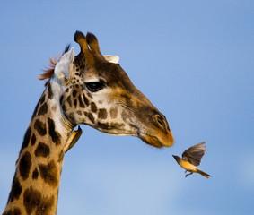 Giraffe and okspeker