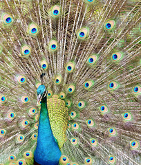 Peacock showing its beautiful feather