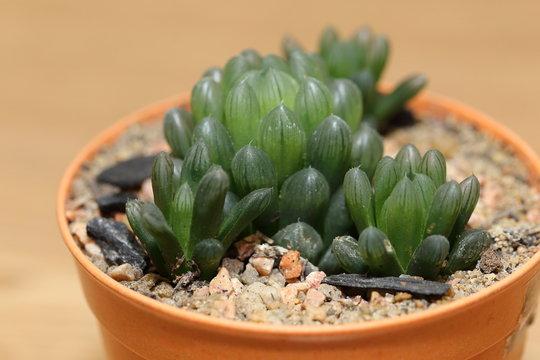 haworthia cooperi cactus in a pot