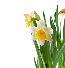 Photo sur Aluminium Spring flowers narcissus isolated on white background.