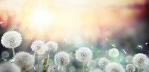 Wall Murals Meadow field of dandelion in sunset - bokeh and allergy