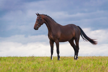 Beautiful bay horse standing in green field against blue sky