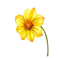 Yellow Dahlia flower, Spring flower.Isolated on white