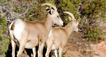 Wild Animal Alpine Mountain Goats Searching for Food High Forest