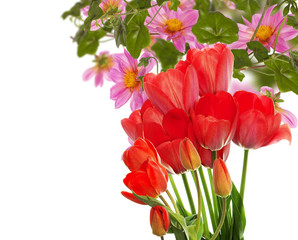 Beautiful garden fresh red tulips