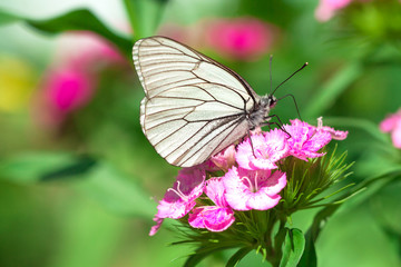 butterfly sits on flowers on meadow