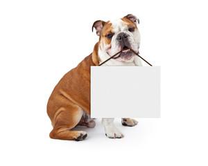 Wall Mural - English Bulldog Holding Blank Sign
