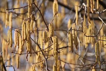 Haselnussbaum - Pollen vor blauem Himmel