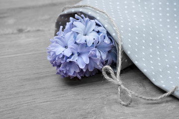 Closeup on blue hyacinth wrapped in cotton cloth, text  space