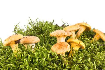 Cantharellus