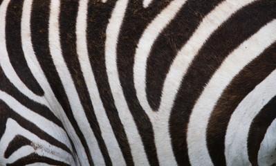 Fragment of zebra skin. Close-up.