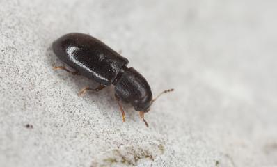 Minute tree-fungus beetle, Orthocis alni on wood