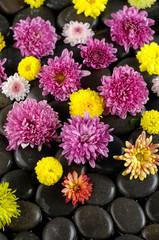 colorful gerbera on black stones