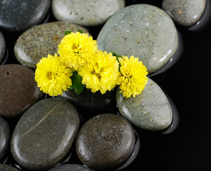 Set of yellow gerbera on wet stones