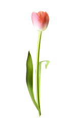 Beautiful Pink Realistic Tulip Vector Illustration