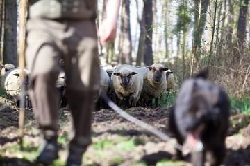 Schäfer mit Hütehund und Herde