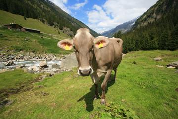 Austria,montagna, una mucca al pascolo.