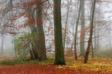 Misty forest in autumn. Trees with green and red leaves in the autumn forest in foggy day.
