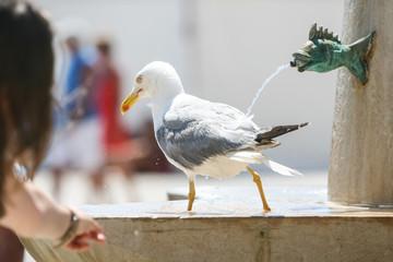 Seagull walking on water fountain