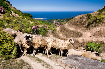 Sheep in the mountains by the sea in Sithonia, Greece
