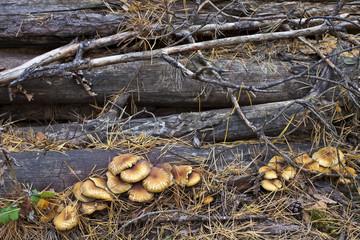 Mushrooms on logs