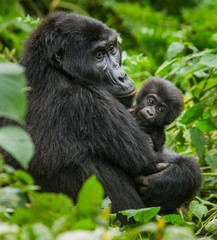 A female mountain gorilla with baby