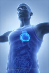 Male anatomy concept Heart