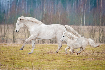 White horse and white shetland pony running on the pasture