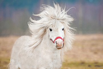 Portrait of white shetland pony with long mane