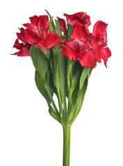 bunch of red garden isolated flowers