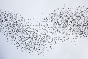 Bats flying in gunung mulu national park