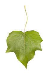 ivy leaf isolated