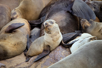 colonies Brown fur seal,Cape cros, Namibia