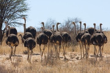 group of female Ostrich, Struthio camelus