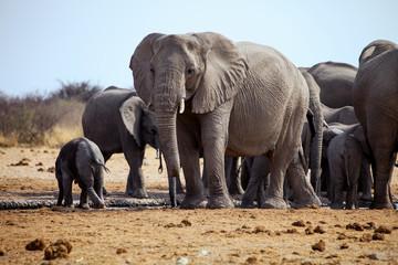 African elephant,in Etosha National Park in Namibia