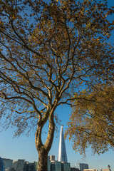 London Plane Tree and The Shard