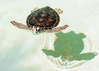 Cute endangered baby turtle