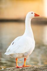 Duck Goose in nature to last hour, Golden Hour