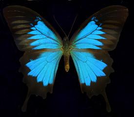 Blue Mountain Swallowtail/Ulysses Butterfly