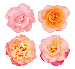 Collection pink roses