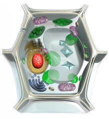 Diagram of the structure of the plant cell