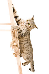 Funny kitten Scottish Straight climbing the wooden stairs
