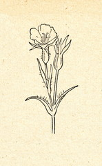 Common corn-cockle (Agrostemma githago)