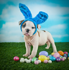 Wall Mural - Silly Easter Bulldog Puppy